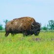Bison in the green of spring steppe — Stock Photo #5265224