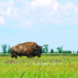 Bison in the green of spring steppe — Stock Photo #5265243