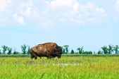 Bison in the green of spring steppe — Stock Photo