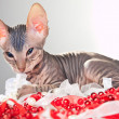 Gray kitten of a sphinx playing with beads and tapes — Stock Photo