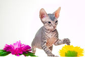 Gray kitten of sphinx with purple flower — Stock Photo