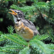 Juvenile Robin — Stock Photo