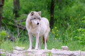 Wolf on Rock with Forest Background — Stock Photo