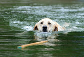 Labrador Retrieving Stick in Water — Stock Photo