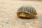 Western Box Turtle — Stock Photo