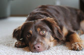 Dog Awakened from Nap on Floor — Stockfoto
