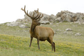 Bull Elk on Flowered Mountainside — Stock Photo