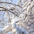 Stock Photo: Branches in snow