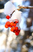 Mountain ash cluster in snow — Stock Photo