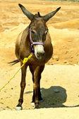 Donkey in the desert — Stock Photo