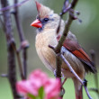 Female Northern Cardinal in Tree - Stock Photo