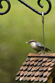 Brown headed nuthatch on birdhouse — Stock Photo
