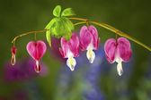 Beautiful Bleeding Heart Blooms — Stock Photo