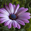 Purple African Daisy with green background — Stock Photo