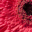 Close Up Red Gerber Gerbera Daisy — Stock Photo