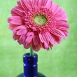 Pink Gerber Gerbera Daisy in Cobalt Blue Bottle — Stock Photo