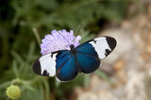 Sapho butterfly on purple flower — Stock Photo