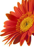 Isolated Gerber or Gerbera Daisy — Stock Photo