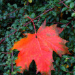 Autumnal leaf — Stock Photo