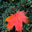 Stock Photo: Autumnal leaf
