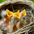 Three Baby Robins in a Nest - Foto Stock