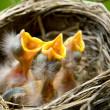 Three Baby Robins in a Nest - Stockfoto