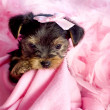 Yorkshire Terrier Puppy with Pink Background — Stock Photo #5249384