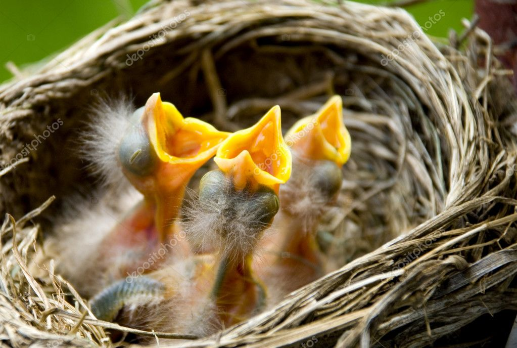 Three hungry baby Robins in a nest wanting the mother bird to come and feed them, copy space — Stock Photo #5249380