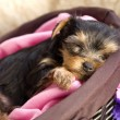 Yorkshire Terrier Puppy in a Basket Sleeping — Foto de Stock