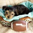 Male Yorkshire Terrier Puppy with football — Stock Photo