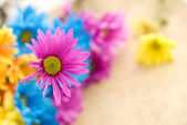 Pink Daisy with Shallow Depth of Field — Stock Photo