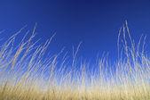 Sarı çim — Stok fotoğraf