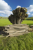 Felled tree — Stock Photo