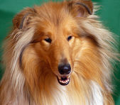 Collie Red-head — Stock Photo