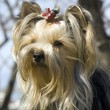 Yorkshire terrier — Stock Photo #5330362