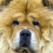 Chow-chow — Stock Photo #5330453