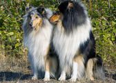Pair collie — Stock Photo