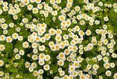 Daisywheels with sheet — Stock Photo