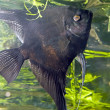Angelfish dark — Stock Photo #5357535