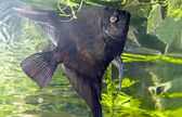 Angelfish dark — Stock Photo