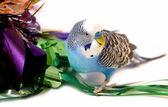 Blue wavy parrot — Stock Photo