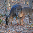 White Tailed deer in the Smokies — Stock Photo