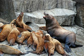 Stellar Sea Lions in Alaska — Stock Photo