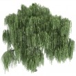 Willow or Salix — Stock Photo