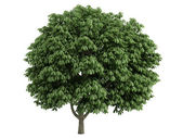 Chestnut or Aesculus — Stock Photo
