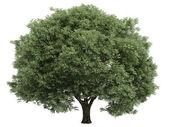 Willow or Salix fragilis — Stock Photo