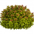 Spiraea — Stock Photo