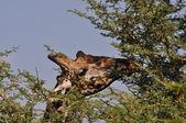 Giraffe in Tanzania — Stock Photo
