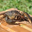 Crayfish astacus, live crayfish and large close-up - Stock Photo