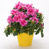 Blooming pink azalea in a yellow pot — Stock Photo